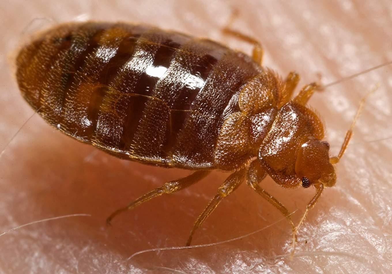 AmericanBed_bug,_Cimex_lectularius