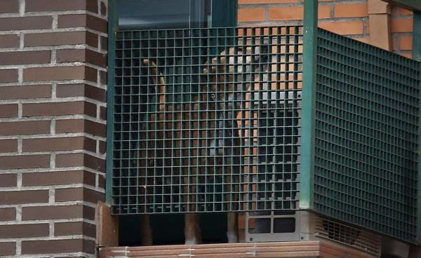 Excalibur, the dog of the Spanish nurse who contracted Ebola, barks from her apartment's balcony in Alcorcon, outside Madrid